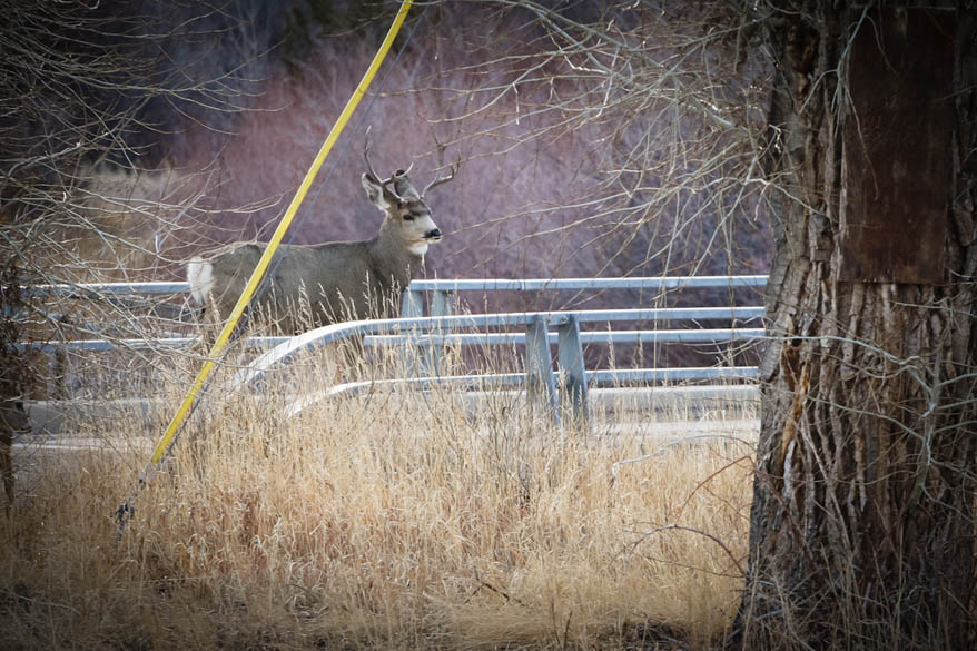 Buck Mule Deer Crossing The Bridge-Dubois WY