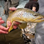Dubois Wyoming Wildlife-Brown Trout-878x585